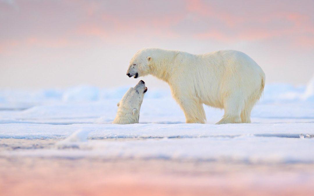 Norvège Au pays des ours